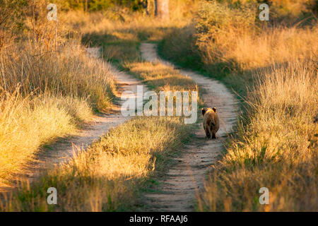 A young lion cub, Panthera leo, walks down the track of a road, back to camera, sunlight on green grass - Stock Photo