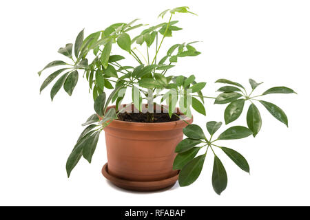 Schefflera arboricola in pot isolated on white background - Stock Photo