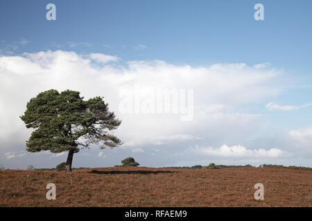 Cumulonimbus clouds over Scots pine Pinus sylvestris Cranes Moor National Nature Reserve New Forest National Park Hampshire England UK - Stock Photo
