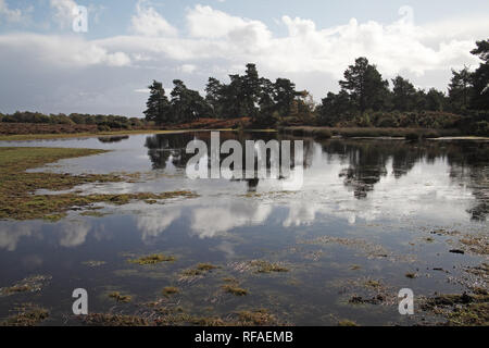 Scots pine Pinus sylvestris trees reflected in Long Pond Cranes Moor National Nature Reserve New Forest National Park Hampshire England UK - Stock Photo