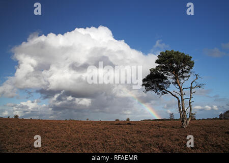 Rainbow and Scots pine Pinus sylvestris Furzy Brow New Forsest National Park Hampshire England UK - Stock Photo