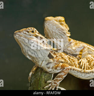 A pair of bearded dragon lizards, common in the bushland of Australia. - Stock Photo