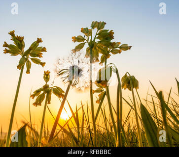 Primula Veris (Cowslip) and Dandelion clock seed in wildflower meadow at sunrise. UK - Stock Photo