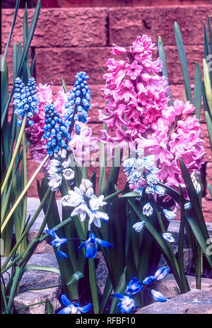 Hyacinth Muscari and Puschkinia growing togethert in border  All can be grown in a rock garden border or woodland garden  Bulbs that are frost hardy - Stock Photo