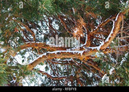 beautiful winter fir branches texture - Stock Photo