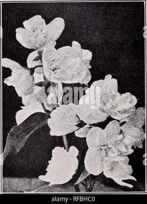 """. Catalog and price list. Rock plants Catalogs; Rock gardens Vermont Catalogs; Nursery stock Vermont Catalogs. Mahonia aquifolium, Oregon Grape:—This Holly leaved shrub is perfectly hardy in the """"Cold Country."""" Dark shining leaves and lovely yellow flowers. 12-18 inch B & B, SI.25 each. Prunus Japonica. White Flowering Almond:—A small, hardy shrub, that blooms very profusely in early spring, when each twig has the appearance of being covered with little double roses. 4 ft., $1.00 each. Pink Flowering Almond:—Similar to the above except in color, which is clear pink. 3-4 ft., $1.0 - Stock Photo"""