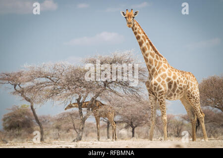 Onguma Game Reserve is a private reserve on the eastern boundary of Etosha National Park which offers stunning arid landscapes and excellent wildlife  - Stock Photo