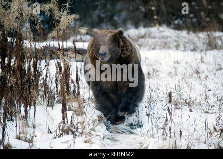 Charging captive grizzly (brown) bear near Haines Alaska - Stock Photo