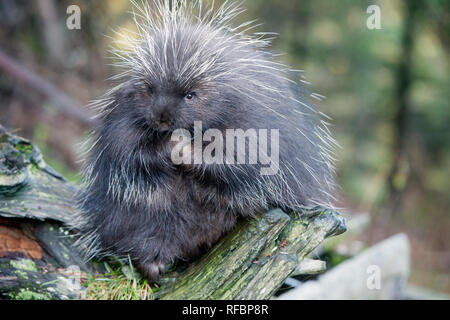 Captive porcupine eating a fir branch near Haines Alaska - Stock Photo