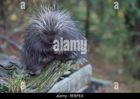 Captive porcupine eating a fir branch near Haines Alaska - Stock Photo