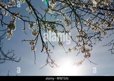 large number of white flowers on the branches of cherry in anticipation of a new crop in the background The sun is shining in the sky - Stock Photo