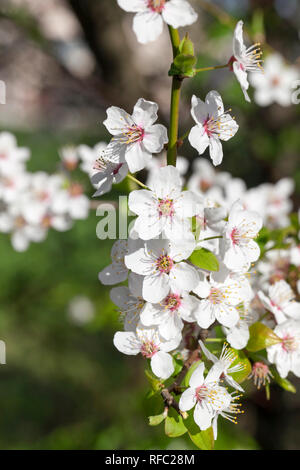 Inflorescence of cherry flowers in the garden, a large number of white flowers with petals - Stock Photo