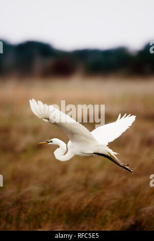 Majestic egret flies low over golden wetland grasses in the Outer Banks of North Carolina - Stock Photo