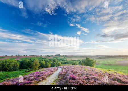 Heather in bloom on lowland heathland, Rockford Common, Linwood, New Forest National Park, Hampshire, England, UK - Stock Photo