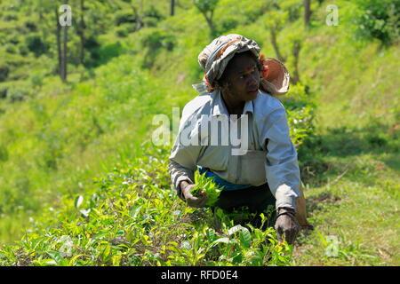 Kandy, Sri Lanka. Tea picker women in tea fields. A Tamil woman from Sri Lanka breaks tea leaves, on plantation by traditional plucking method. - Stock Photo
