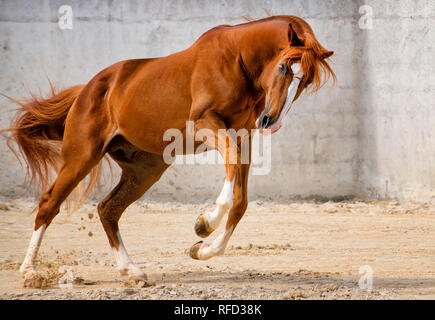 Sorrel Lusitano Stallion Bucking at Liberty, Portugal - Stock Photo