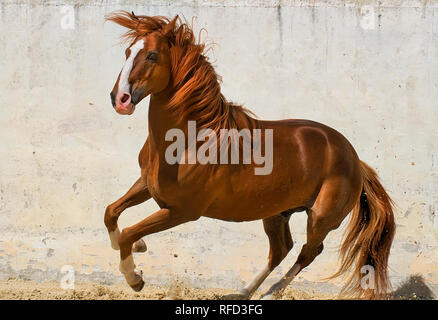 Sorel Lusitano Stallion at Liberty, Portugal - Stock Photo