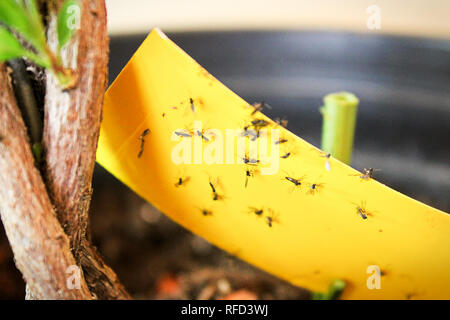 Closeup of fungus gnats being stuck to yellow sticky tape. - Stock Photo
