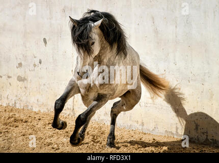 Dapple Grey Lusitano Stallion Running at Liberty, Portugal - Stock Photo