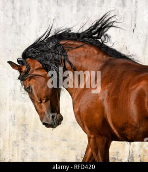 Lusitano Stallion at Liberty, Portugal - Stock Photo