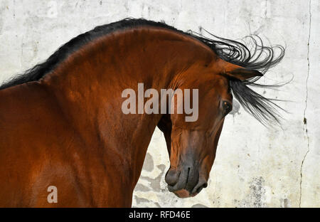 Headshot of Lusitano Stallion at Liberty, Portugal - Stock Photo