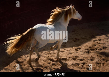 Cremello Lusitano Stallion at Liberty, Portugal - Stock Photo