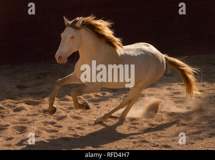 Cremllo Lusitano Stallion Running at Liberty, Portugal - Stock Photo