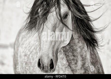 Dapple Gey Lusitano Stallion Portrait, Portugal - Stock Photo