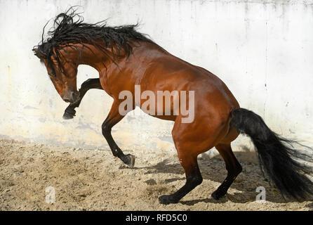 Lusitano Stallion at Liberty, Portugal - Stock Photo