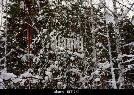 Siberian taiga in winter, mixed forest, coniferous and deciduous trees are covered with snow. The picture was taken in a natural light, during the win - Stock Photo