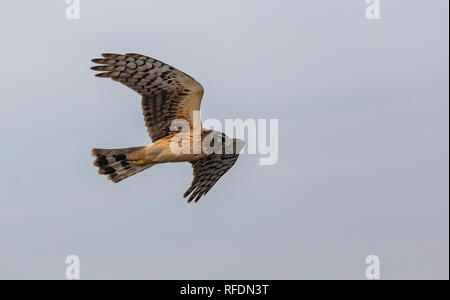 Female Northern harrier, Circus hudsonius, in flight over marshland, South Texas. - Stock Photo