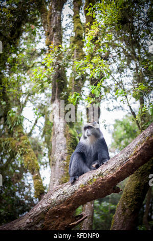 Visitors to Africa's tallest mountain and the world's tallest freestanding mountain, Mount Kilimanjaro, pass through 5 vegetation zones on the climb - Stock Photo