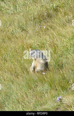 alpine marmot, Alpenmurmeltier, havasi mormota, Marmota marmota - Stock Photo