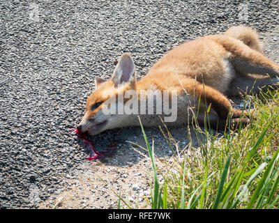 A young fox killed by a vehicle, lies on the side of the road. Blood flows from his head. - Stock Photo
