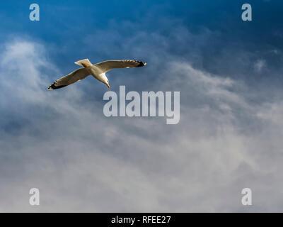 Yellow-legged seagull (Larus Michahellis) flying around the Bay of Cadiz - Stock Photo