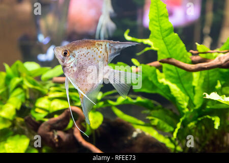 Tropical freshwater aquarium with colourful fish and green plants - Stock Photo