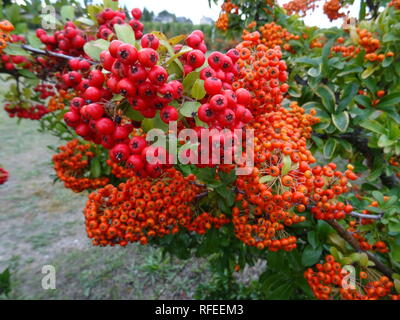 Close up of colorful red and orange berries on the bush - Stock Photo