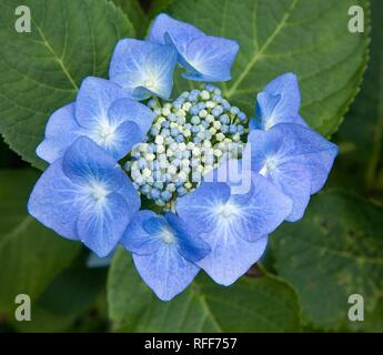 Blue hydrangea (Hydrangea serrata), inflorescence, Ireland - Stock Photo