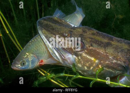 Pike (Esox lucius), with prey in the mouth, common roach (Rutilus rutilus), Baden-Württemberg, Germany - Stock Photo