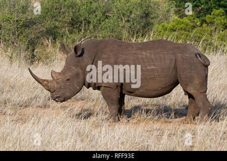 White rhinoceros (Ceratotherium simum), adult male, feeding on dry grass, Kruger National Park, South Africa - Stock Photo