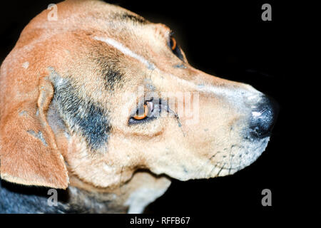 A cute brown colored Indian Street Dog Also Know as Puppy Dog on black background. Puppy of Indian Local Dog looking up. Studio shot. Copy space.