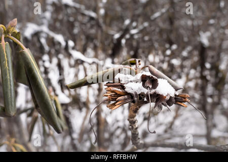 Fresh snow on dried plants. Green leaves covered with snow or ice crystals, frost on plant, freeze close-up. Winter scene. Yumthang in Sikkim or Valle - Stock Photo