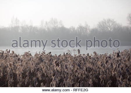 Bulrushes hit by a hoar frost sit calmly in the mist - Stock Photo