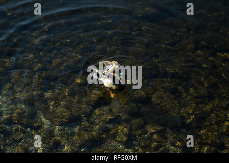 Mallard male duck in the movement on Iseo lake in Northern Italy - Stock Photo