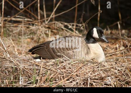 Canadian Geese near Lake Ontario Canada - Stock Photo