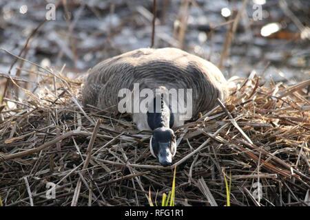 Canada Goose nesting near Lake Ontario - Stock Photo