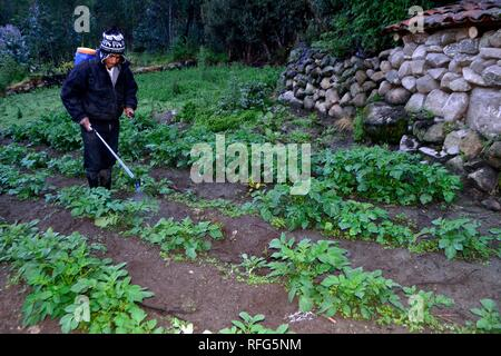 Fumigating potato field - Peasant community in Humacchuco - National park HUASCARAN. Department of Ancash.PERU                - Stock Photo