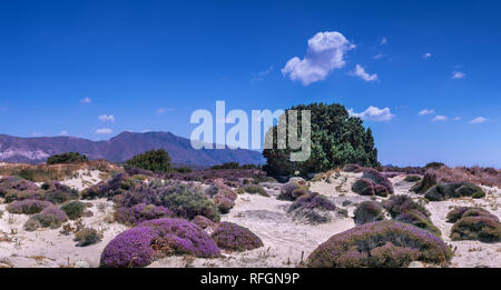 White sand dunes with plenty of blooming pink flowers, single green tree and mountain range at the horizon. Bright blue sky with few white clouds. Gre - Stock Photo