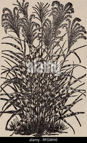 . The Geo. H. Mellen Co. : 1900. Nursery stock Ohio Springfield Catalogs; Bulbs (Plants) Catalogs; Flowers Seeds Catalogs; Plants, Ornamental Catalogs; Fruit Catalogs. 86 The Geo. H. Mellen Co., Florists and Seedsmen, Grasses—Ornamental.. The Ornamental Grasses are valuable for decorative pur- poses when dried and arranpf^d in connection with the Ever- lasting Flowers for winter boquets, etc. Some are curious- looking plants, others exceedingly graceful; some neat and compact, others stately and majestic. The more slender and graceful varieties are very decorative. Mixed varieties. Packet, 6c. - Stock Photo