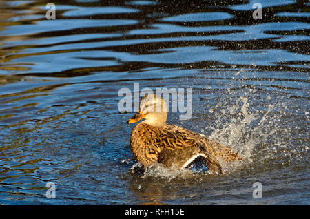 Mallard Duck [Anas platyrhynchos] female, splashing water - Stock Photo